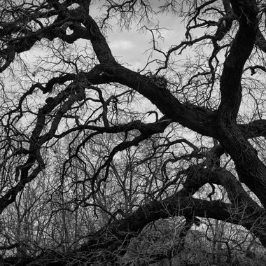 Old oak tree in black and white