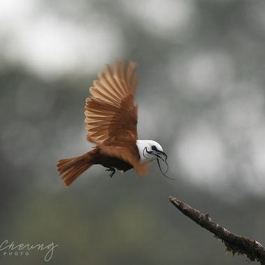 This bird makes the most incredible bell like sound in the mountain forest.