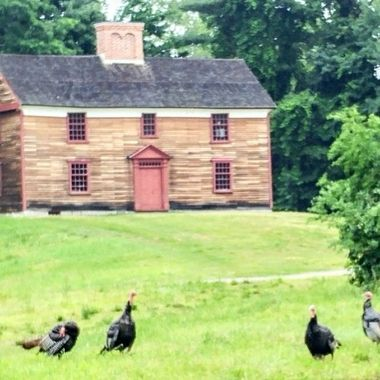 Can't help but ponder how long these turkeys could just wander around the yard without being turned into dinner in the 1770s when this house was built ...