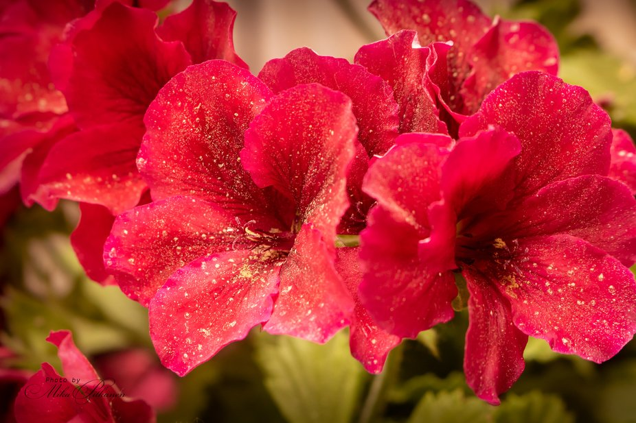 A bunch of pollinated red flowers.