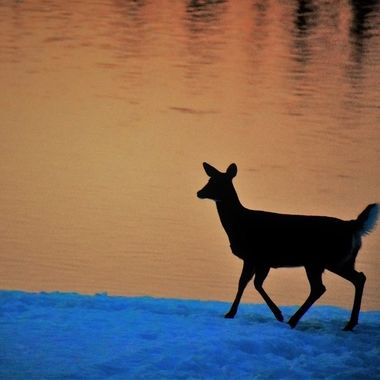 Whitetail doe strolling along the Rainy River at sunset at Ron Hall Landing