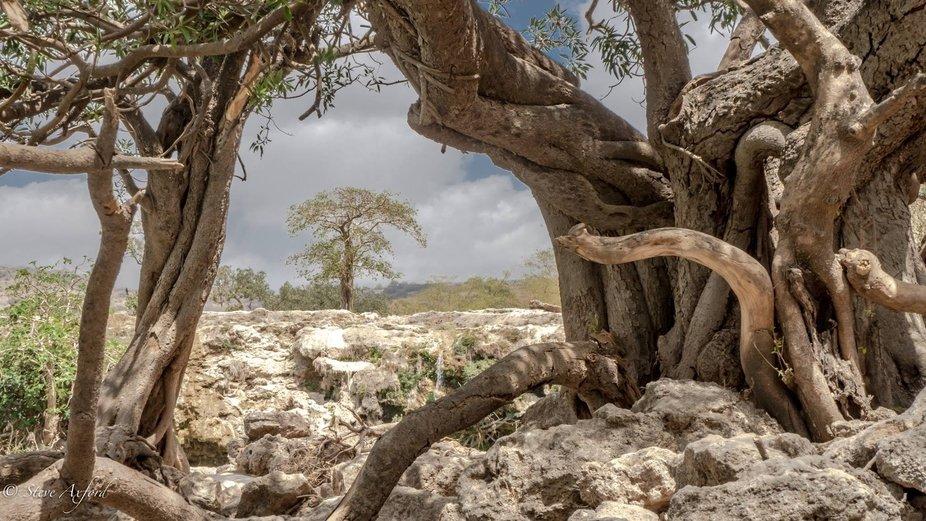 Trees near Wadi Durham. Oman