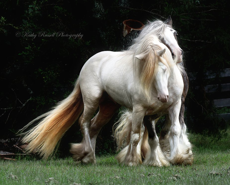 Two Gypsy Cob stallions