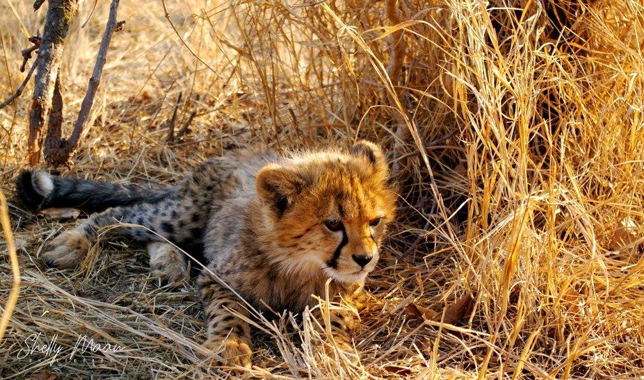 Sunset.  Cheetah cub @ 17 weeks old