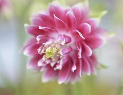 Clover Leaf Flower