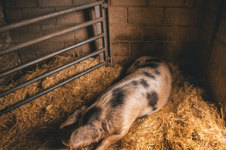 I was lucky to catch this giant pig sleeping in his (or her ) sty. Such a gorgeous animal
