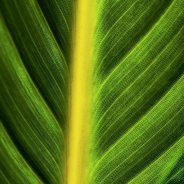 Bird of Paradise Leaf