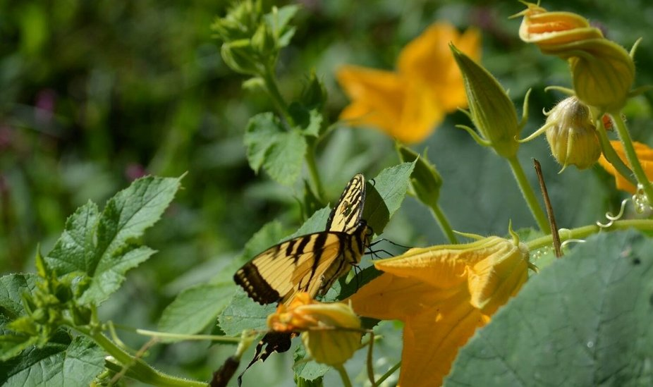 This little pretty liked the flowers on our squash plants.