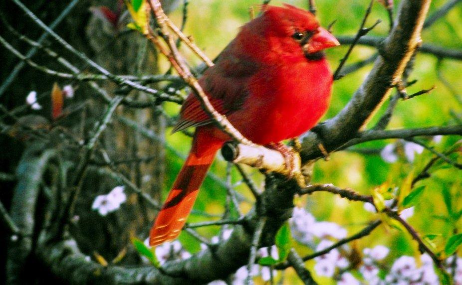 cardinal watching