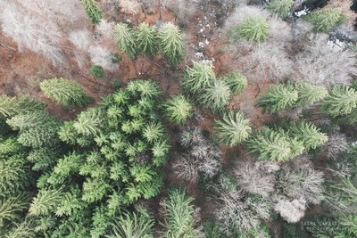 Pine trees from air