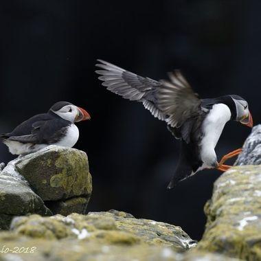 Frailecillos de la costa escocesa en epoca de cria, desplazandose con pequeños saltos.