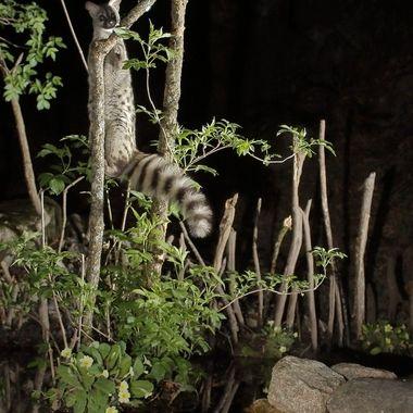 La Gineta, uno de mis mamiferos nocturnos preferidos (Personaliza la inteligencia, agilidad,valentia),trepando por una delgada rama de arbusto acuatico. Con barrera de IR y cuatro flashes a 1/8