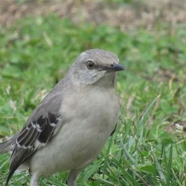 Tennessee Mockingbird