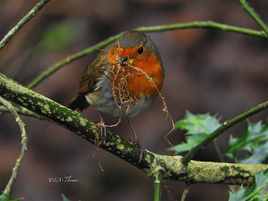 Robin with nest material