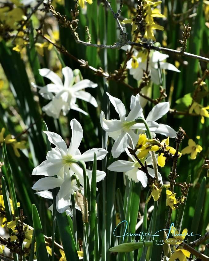 Forsythia and Daffodils