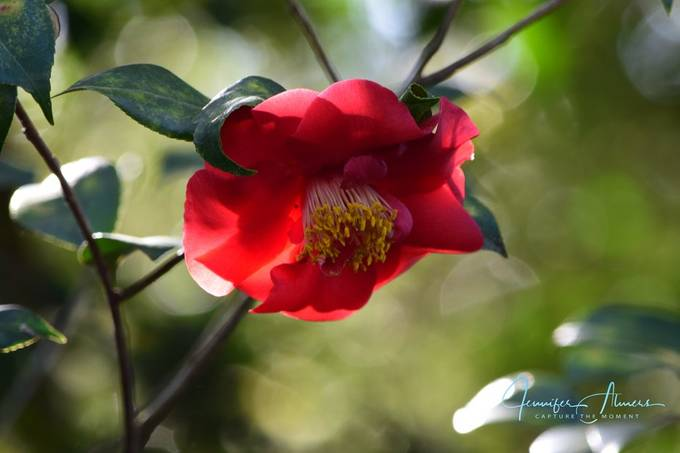 Light Through a Camellia