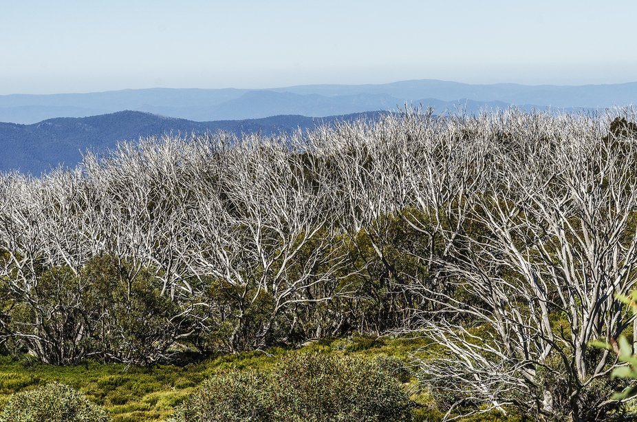Victoria's (Australia) High Country, among the Snow Gums and the blue of the mountains t...