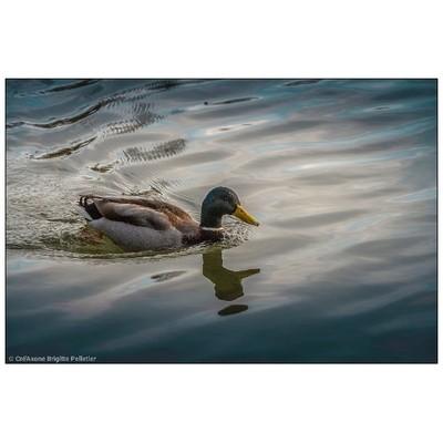 Canard au bois de Vincennes