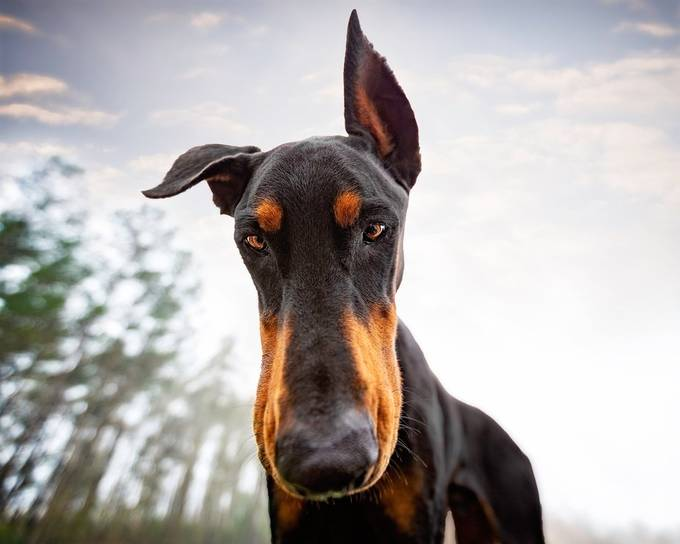 Give Me Your Chicken Nuggets! by DobermanDuo - Social Exposure Photo Contest Vol 21
