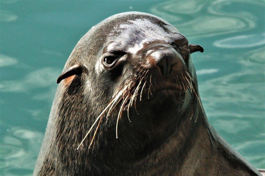 Beautiful sea lion head