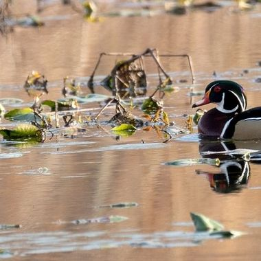 Drake Wood Duck in a large pond frequented by many species of water fowl. Wood Ducks are making them difficult to find. They are often seen in pairs especially in mating season.
