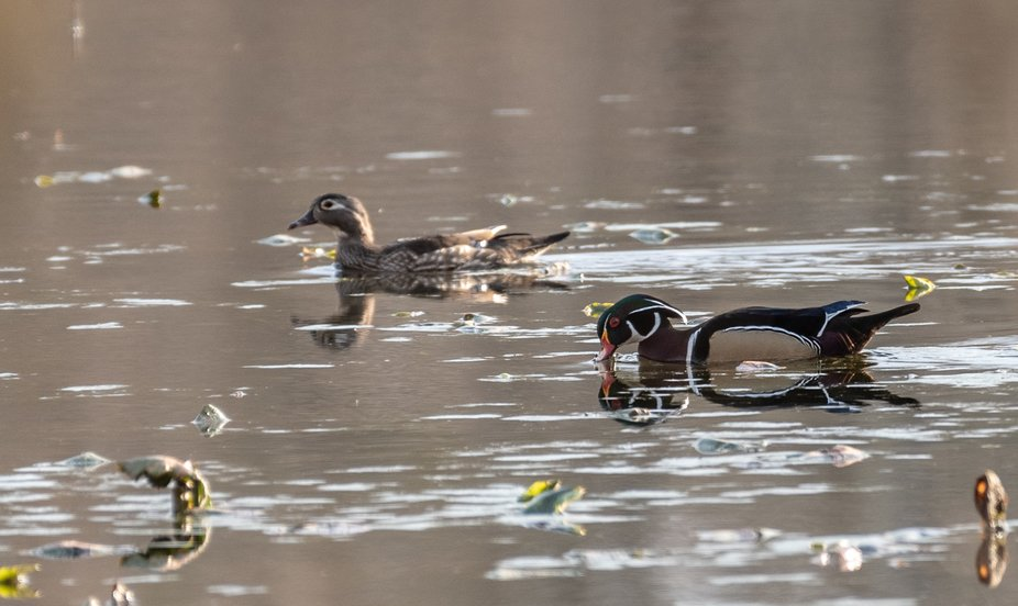 Drake and Hen Wood Ducks pair for the mating season during which time they are monogamous. Next y...