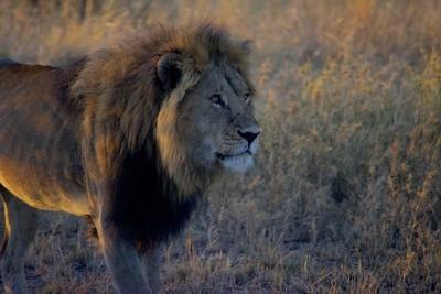 King of the Lions_Tarangire National Park