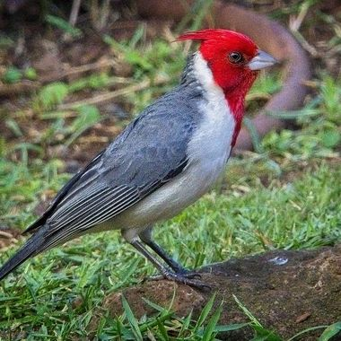 A red crested cardinal looking for food on the island of Lanai in Hawaii