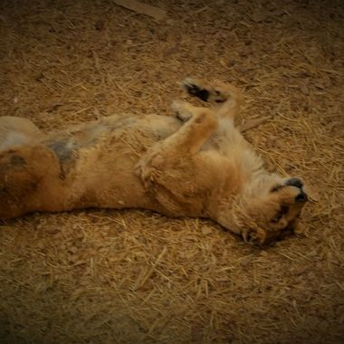 Lion saved from bad situation live a free life at the Wild Animal Sanctuary in Keenesburg, CO
