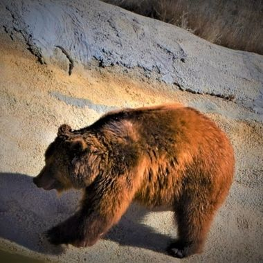 A bear had saved from bad situation live a free life at the Wild Animal Sanctuary in Keenesburg, CO