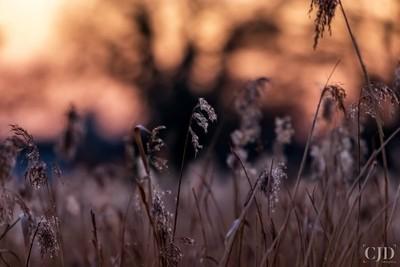 Twilight Amongst The Reeds