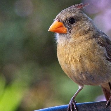 A female Hawaiian cardinal chjecking out the photographer in Lanai City on the island of Lanai