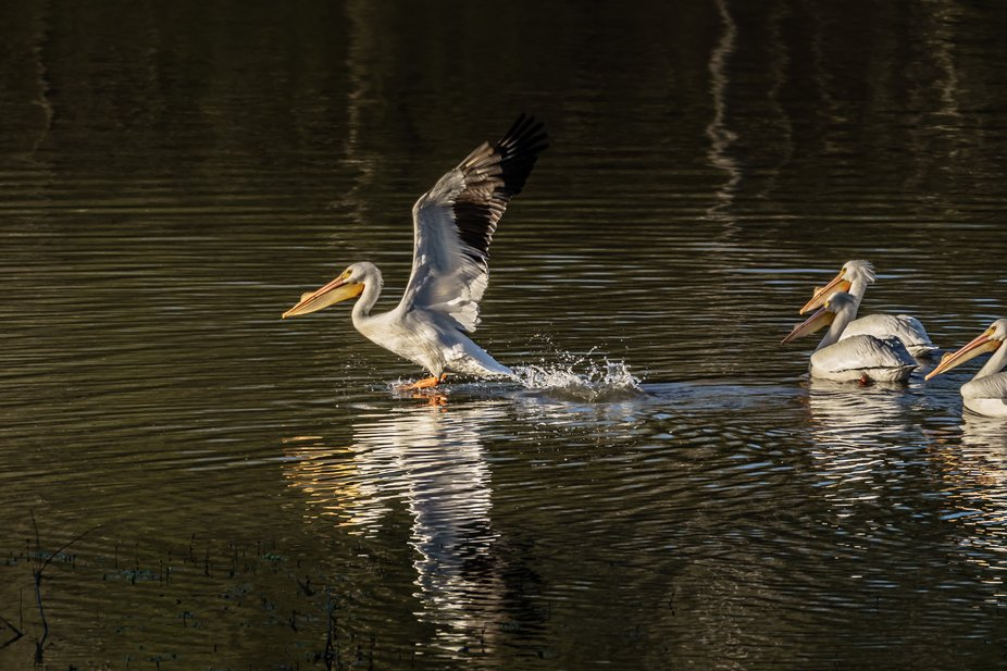 Last one up was a rotten egg. The American White Pelican jumps into the air while lifting its win...
