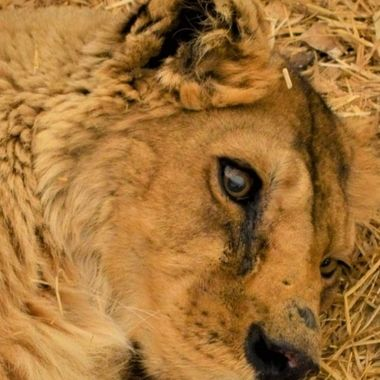 This lion was rescued from a really bad place. When I walked up and looked at he just stared dead on into my eyes like he was looking into my heart for answers. I cried and talked to him for a few and he rolled over I could feel him relax. It truly was one of the spiritual moments of my life.