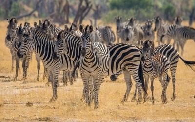 Herd of common zebra