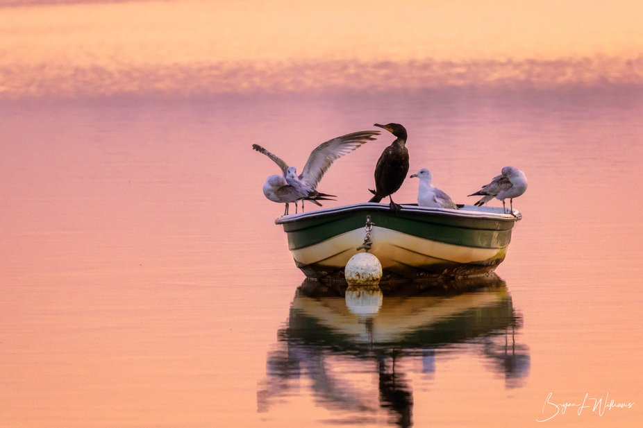 A cormorant in a boat with a small flock of seagulls.