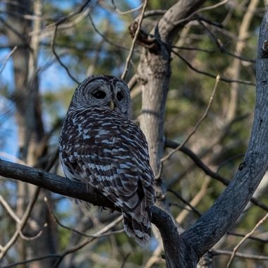 I found this Barred Owl on the edge of a woods shortly before Sunset.  DSC_2984