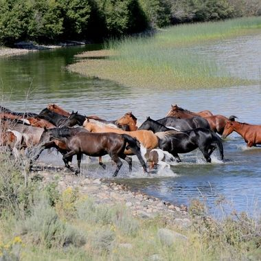 a herd of range horses at Douglas lake