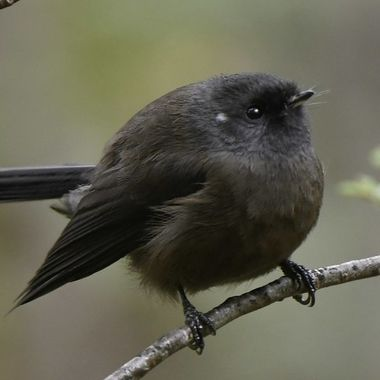about 25% of the fantail populations are all back (or so)