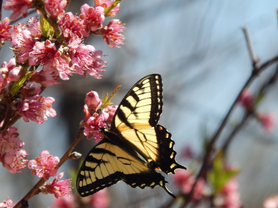 After several miss shots captured this ideal focus of the butterfly on the blossom.