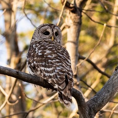This as the same Barred owl as the other. It is processed differently to emphasize the bird.