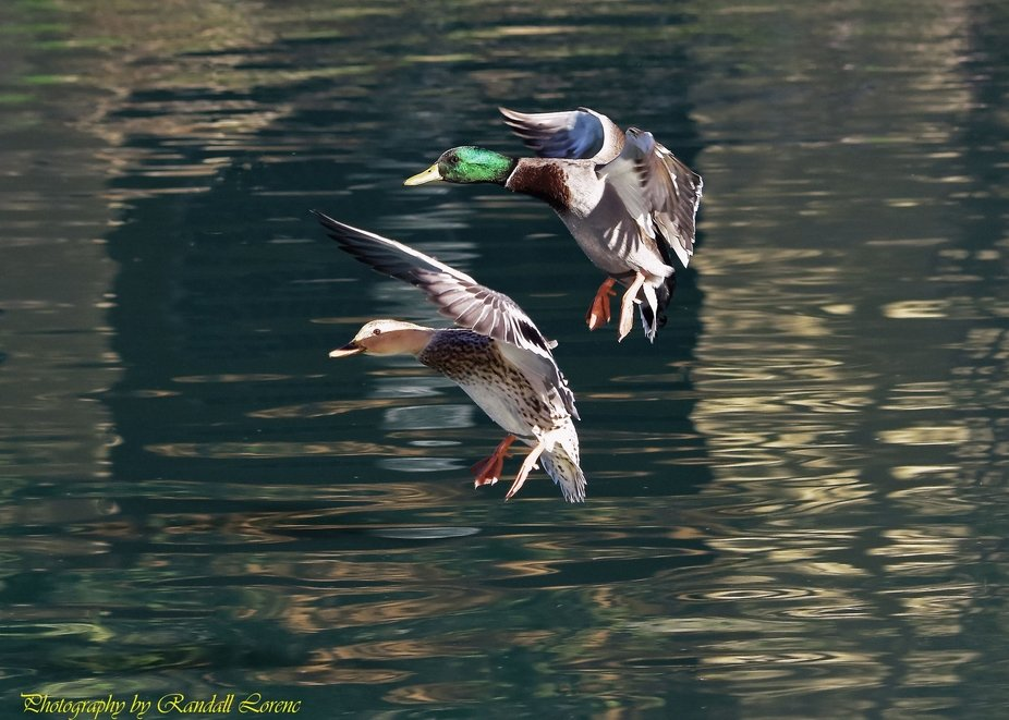 At the apartment where I live. 11/2/18.  A drake and hen mallard coming in for a landing.