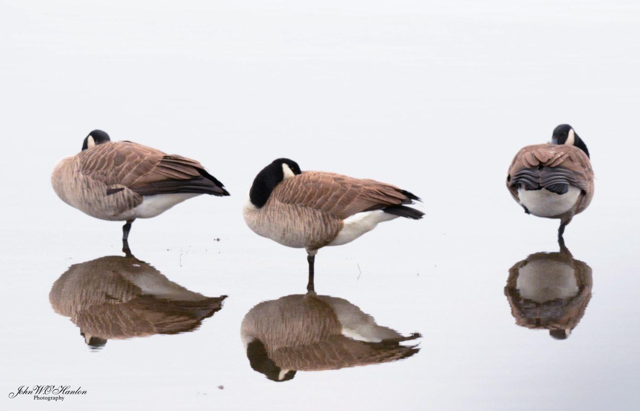 DSC_6917 Duck Reflection