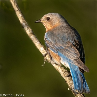 Eastern Bluebird (Sialia sialis) Earlier I shared the male mate of this female. They have chosen a bluebird house I built as their home and I am enjoy watching them collect food for their new born chicks.