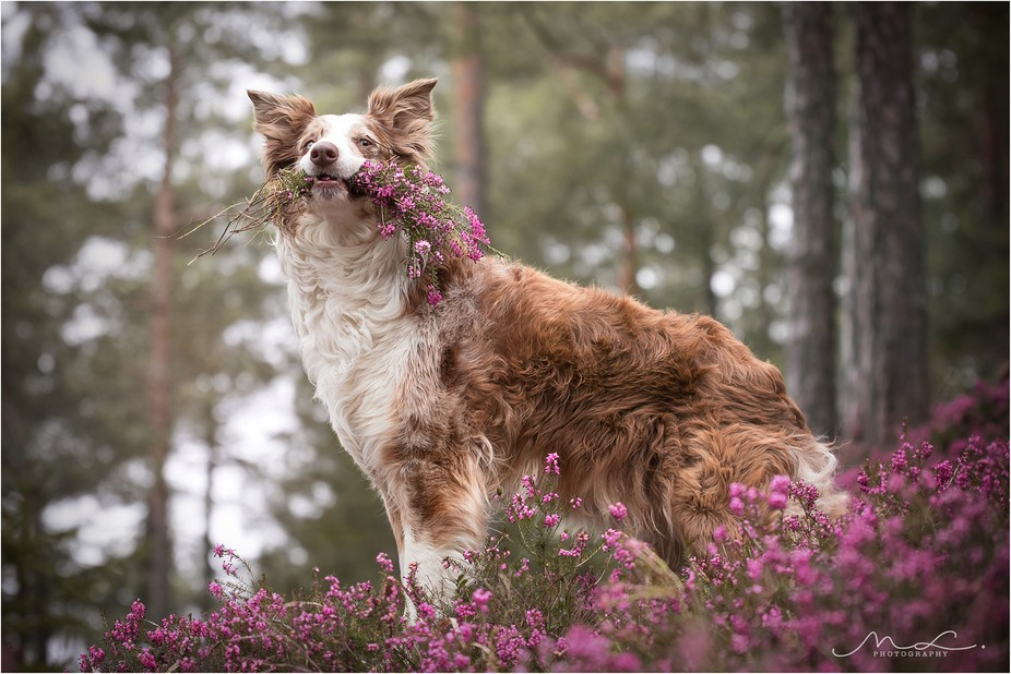 Vicky, the red merle Border Collie with her own bouquet in the forest field of flowers.