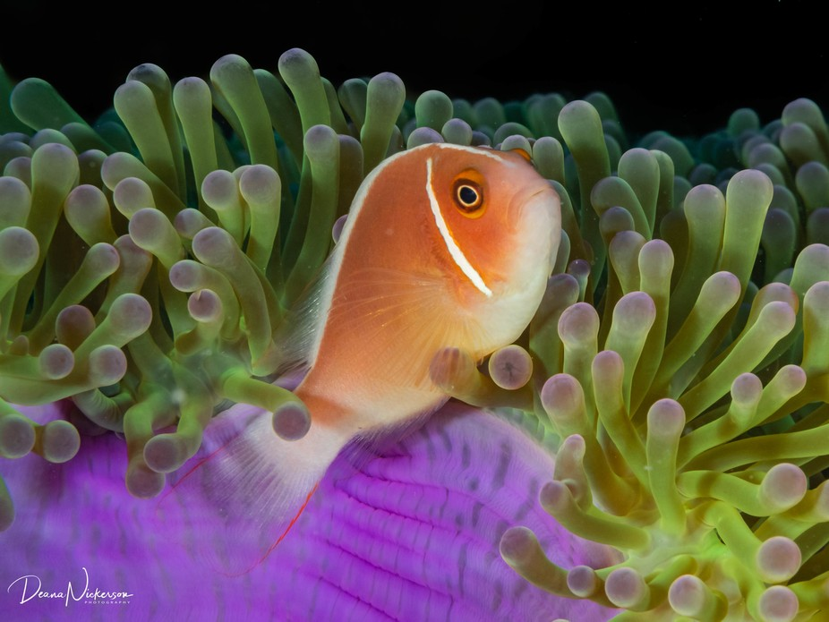 Anemone fish hanging out in his roost on the coral reefs of Thailand