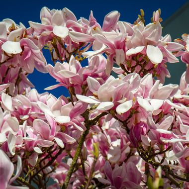Magnolia tree blossoming