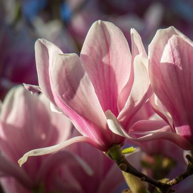Blossoming magnolia flower