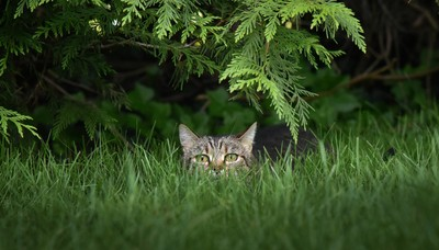 Suburban Jungle Cat