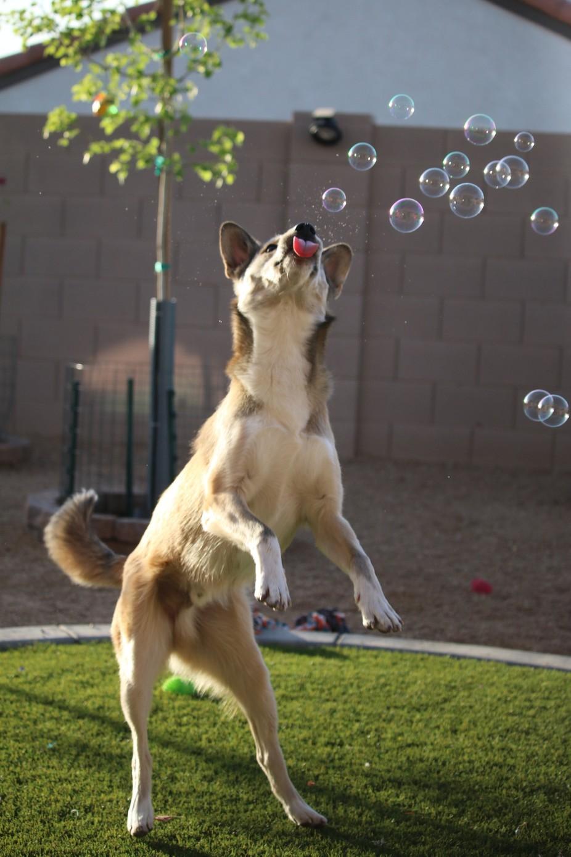 Bleu loves to catch bubbles